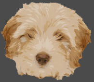 542377164e8b699906218577_labradoodle-puppy-headshot.jpg