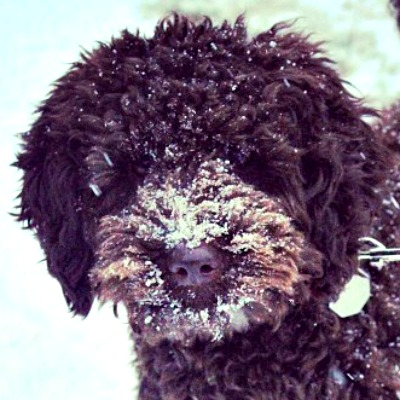 54359b92ecd6b3e71c426c75_gracie-australian-labradoodle-puppy.jpg
