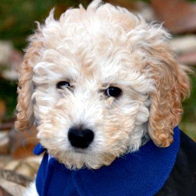 54359bc5c21167e81cc1a10a_hannah-australian-labradoodle-puppy.JPG