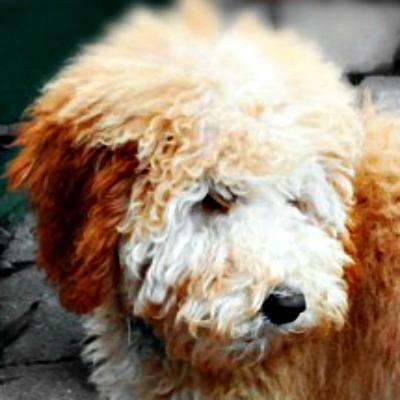 54359c00c21167e81cc1a112_nellie-australian-labradoodle-puppy.jpg