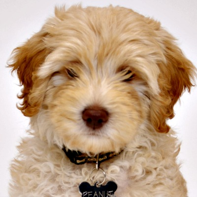 54359c0cc9e733c303b25aca_sasha-australian-labradoodle-puppy.jpg