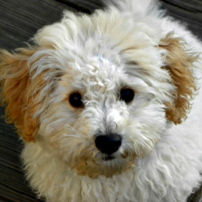 54359c2fc21167e81cc1a116_lola-australian-labradoodle-puppy.jpg