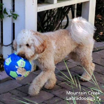 Apricot Australian Labradoodle with Ball
