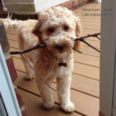Apricot Australian Labradoodle with a Stick