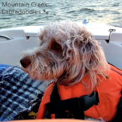 Apricot Australian Labradoodle Boating