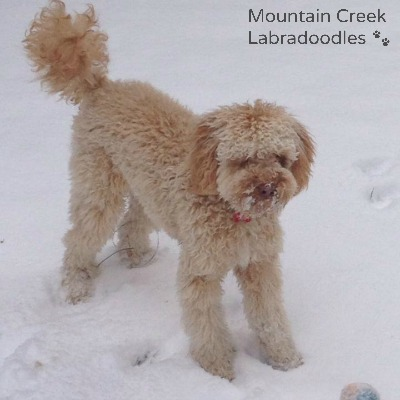 Apricot Australian Labradoodle in the Snow