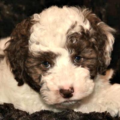 543de26efd60d2483a06aedf_shiloh-australian-labradoodle-puppy.jpg