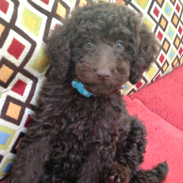 Chocolate Miniature Labradoodle