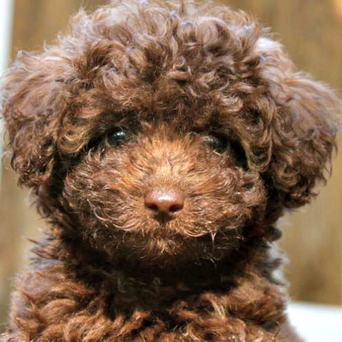 chocolate labradoodles from mountain creek labradoodles