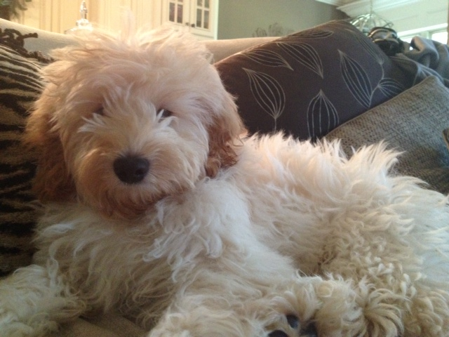 Shewy - Cream Australian Labradoodle
