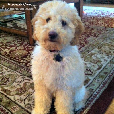 Cream- Mini Australian Labradoodle