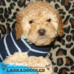 Cream - Mini Australian Labradoodle