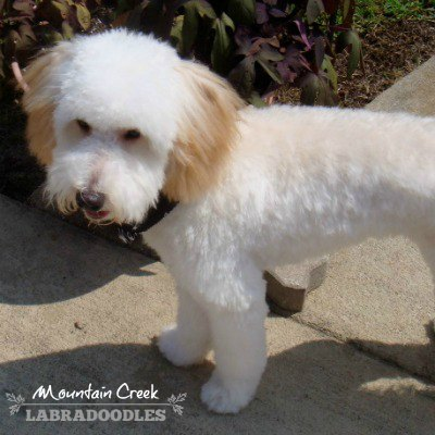 Mini Cream Australian Labradoodle