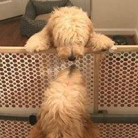 Mini Australian Labradoodle Puppies