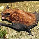Rhode Island Bat Control