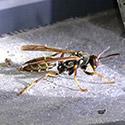 Rhode Island Wasp Control