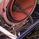 Rhode Island Snake Control