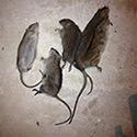 Rhode Island Rat Control