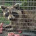 Rhode Island Raccoon Control