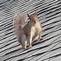 Rhode Island Squirrel Control
