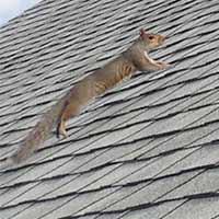 Squirrel Control Services In Rhode Island Ri Squirrel