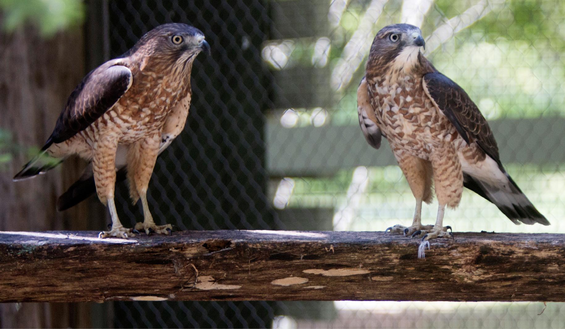 Broad-winged Hawk Grafton 2