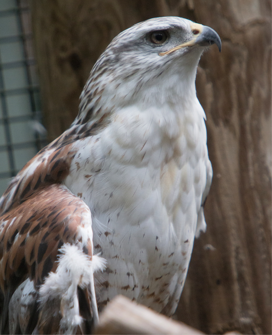 Ferruginous Hawk Wyoming 2