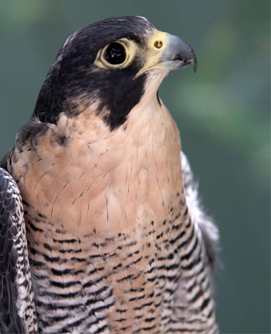 Peregrine Falcon Conway 2
