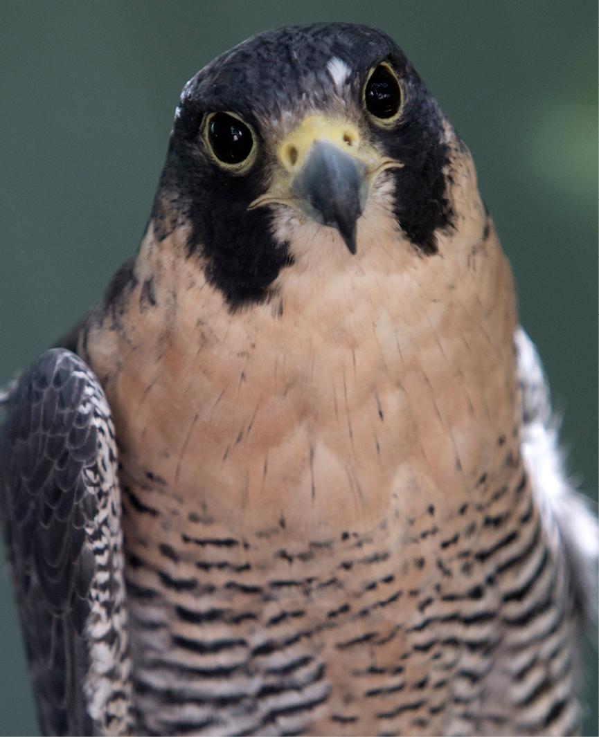 Peregrine Falcon Conway 3