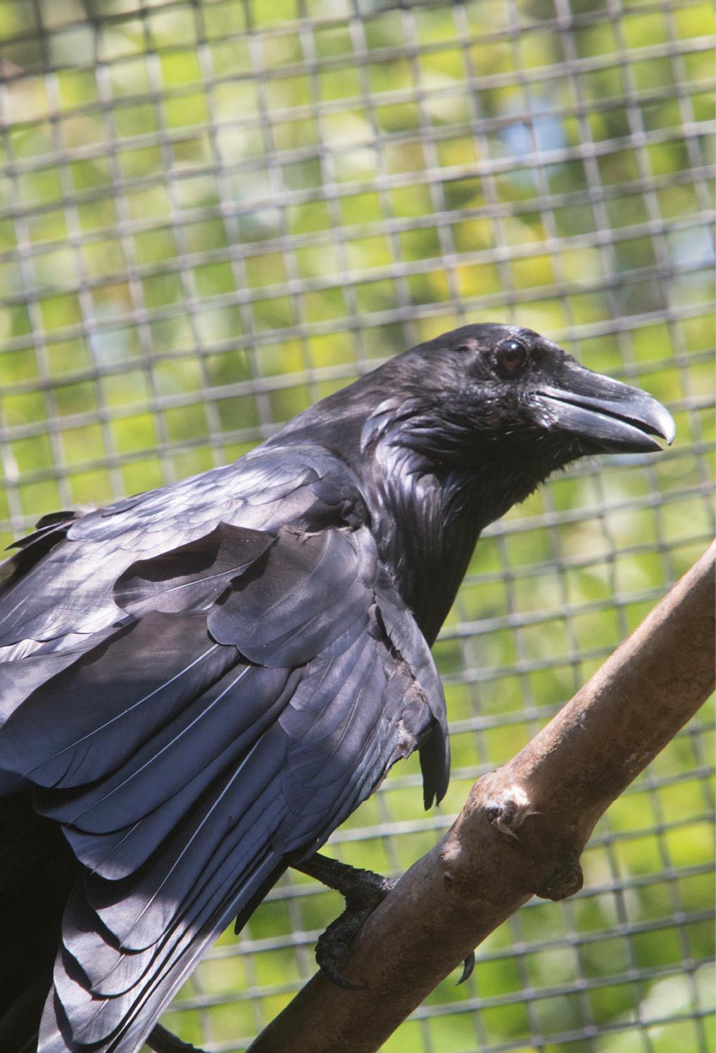 Common Raven Middlebury 1
