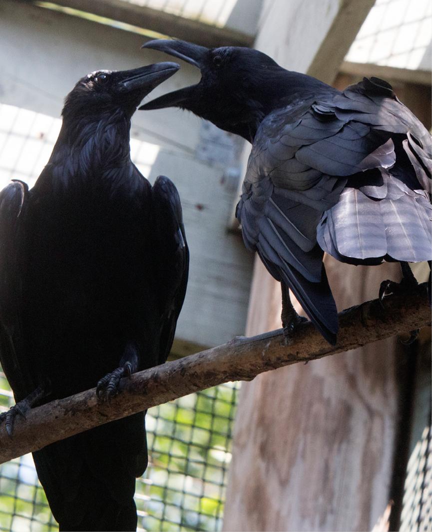 Common Raven Sedona 2