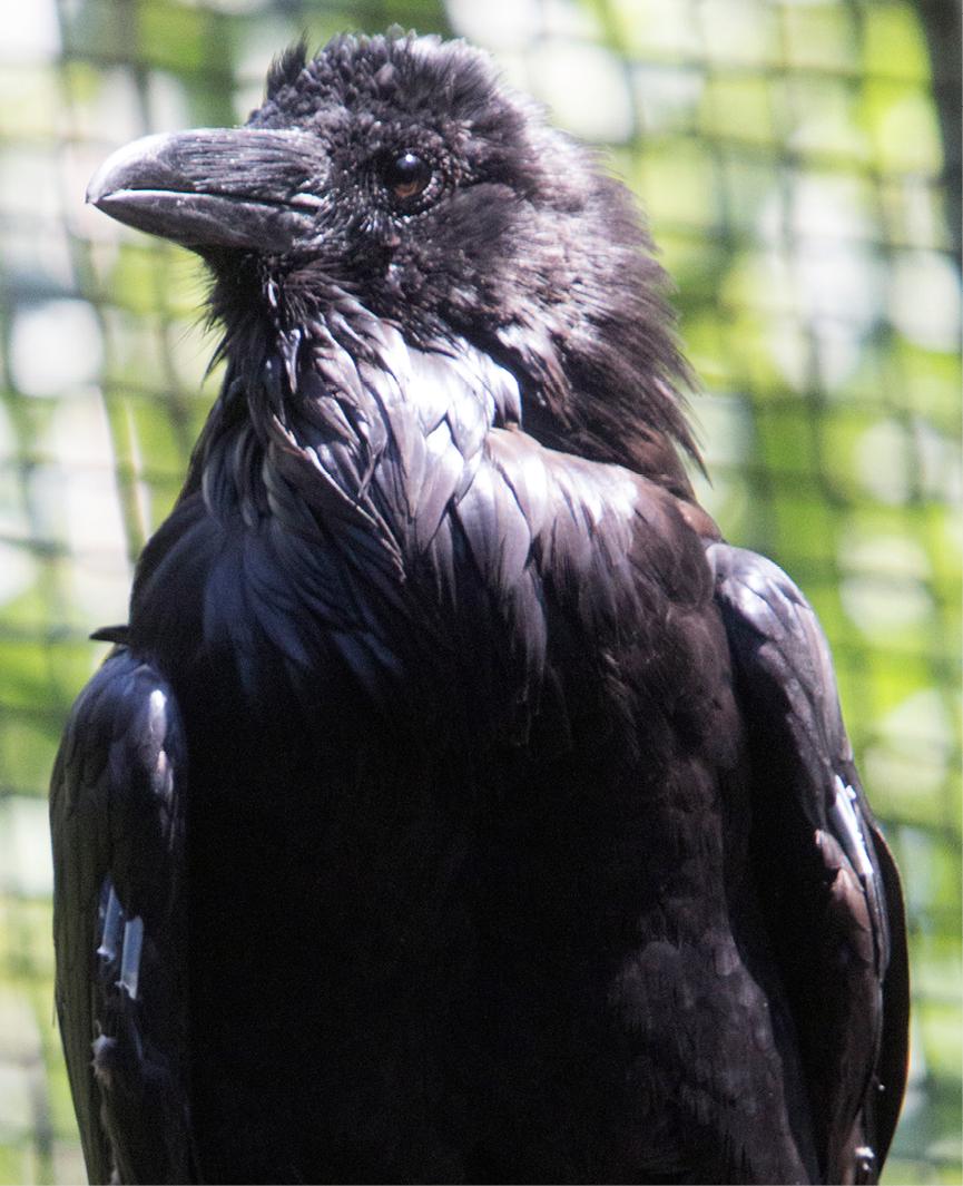 Common Raven Sedona 3