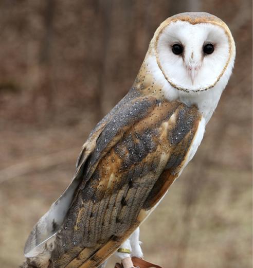 Barn Owl Aurora