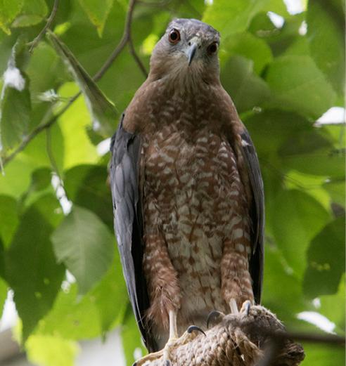 Cooper's Hawk Fallston