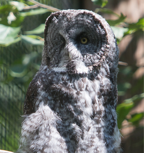 Great Gray Owl Louis