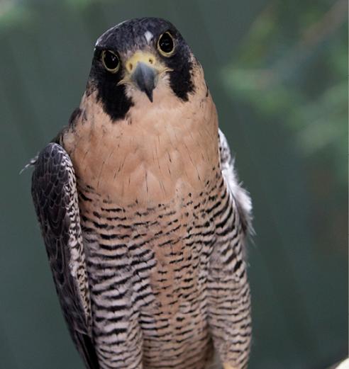 Peregrine Falcon Conway
