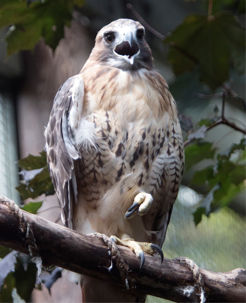 Red-tailed Hawk Neddick 3