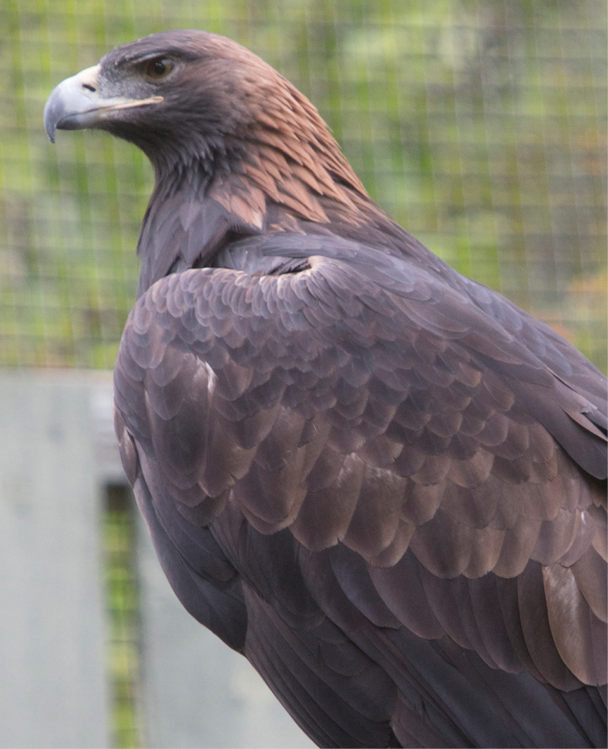 Golden Eagle Cody 3