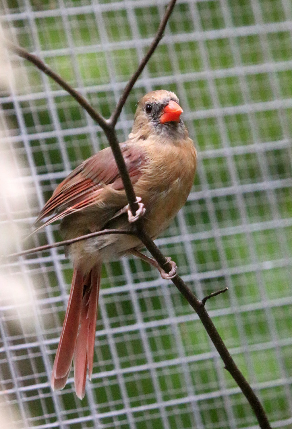 Northern Cardinal - Wilder 1