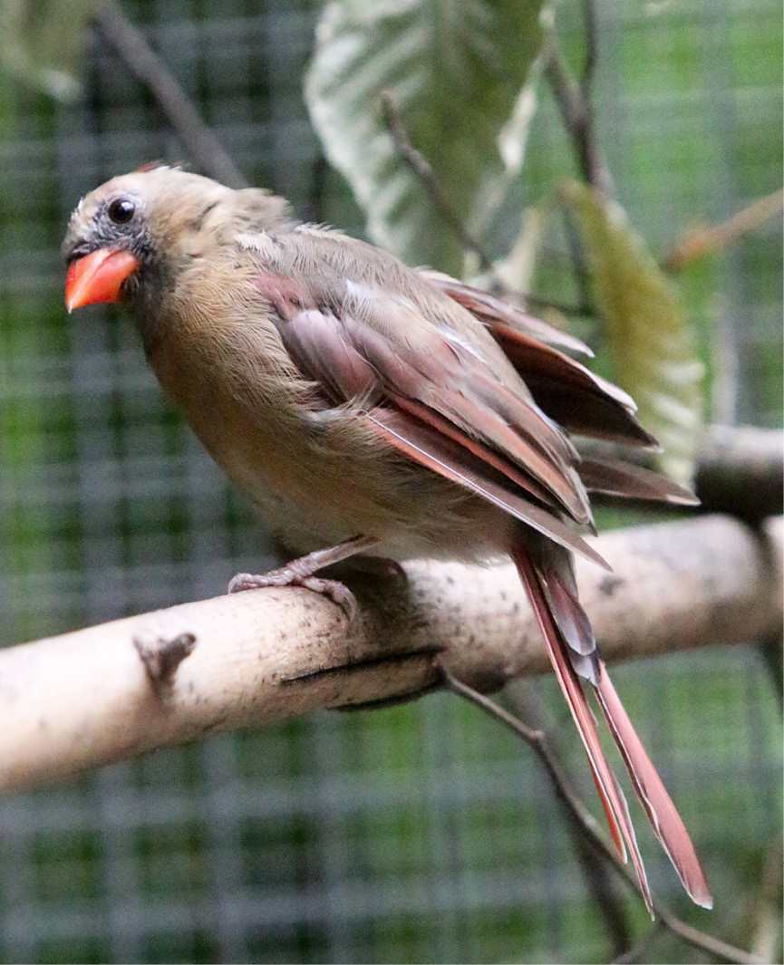 Northern Cardinal - Wilder 2