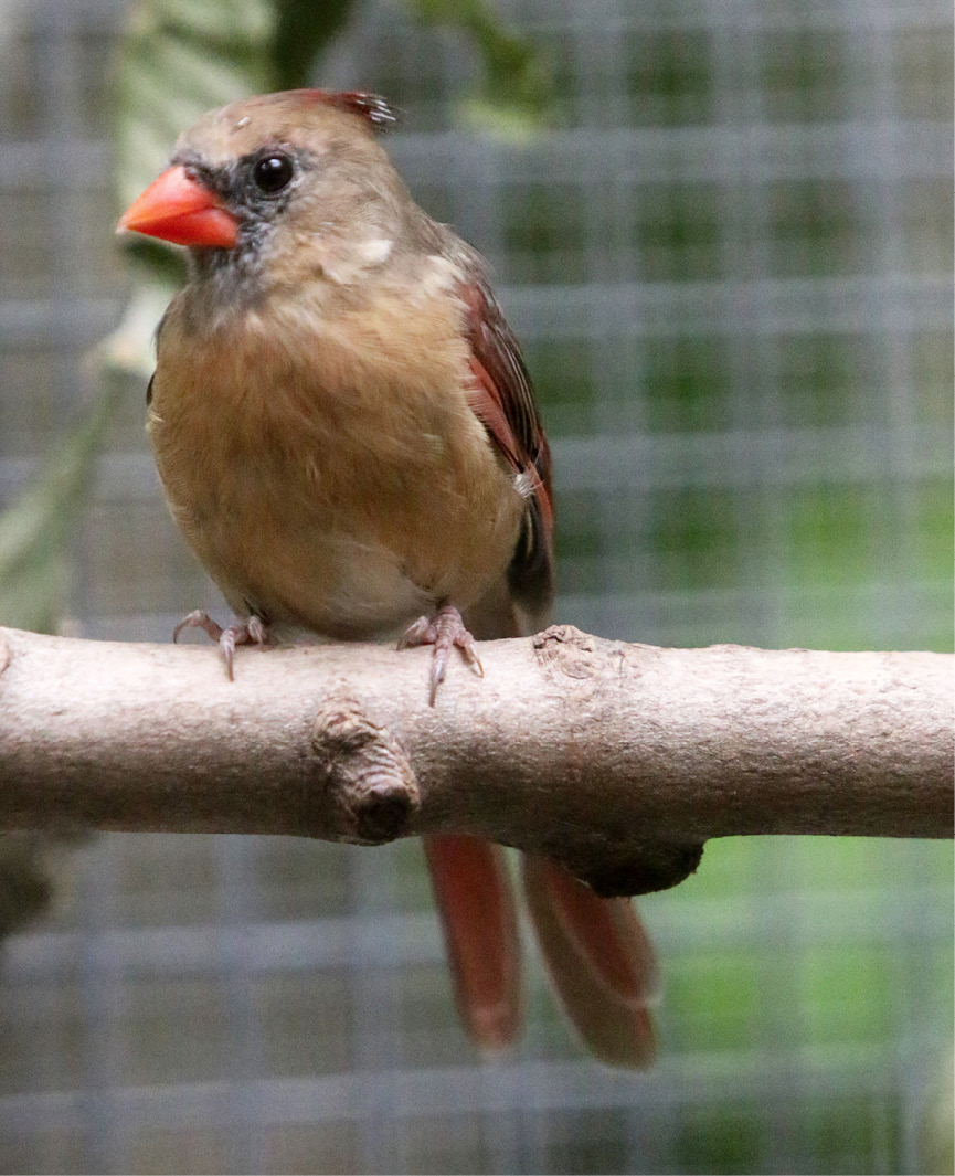Northern Cardinal - Wilder 3