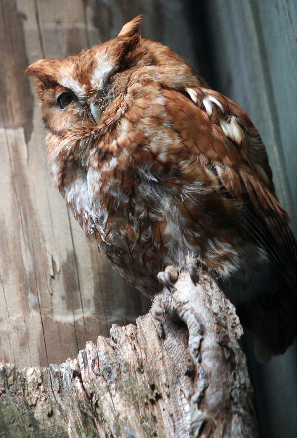 Eastern Screech Owl Virginia 1