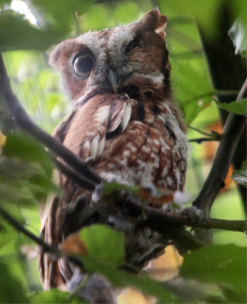 Eastern Screech Owl Kentucky 3