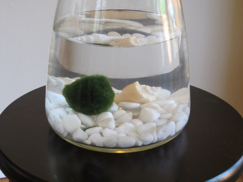 Connor Talbott's underwater house plant, a Marimo ball.