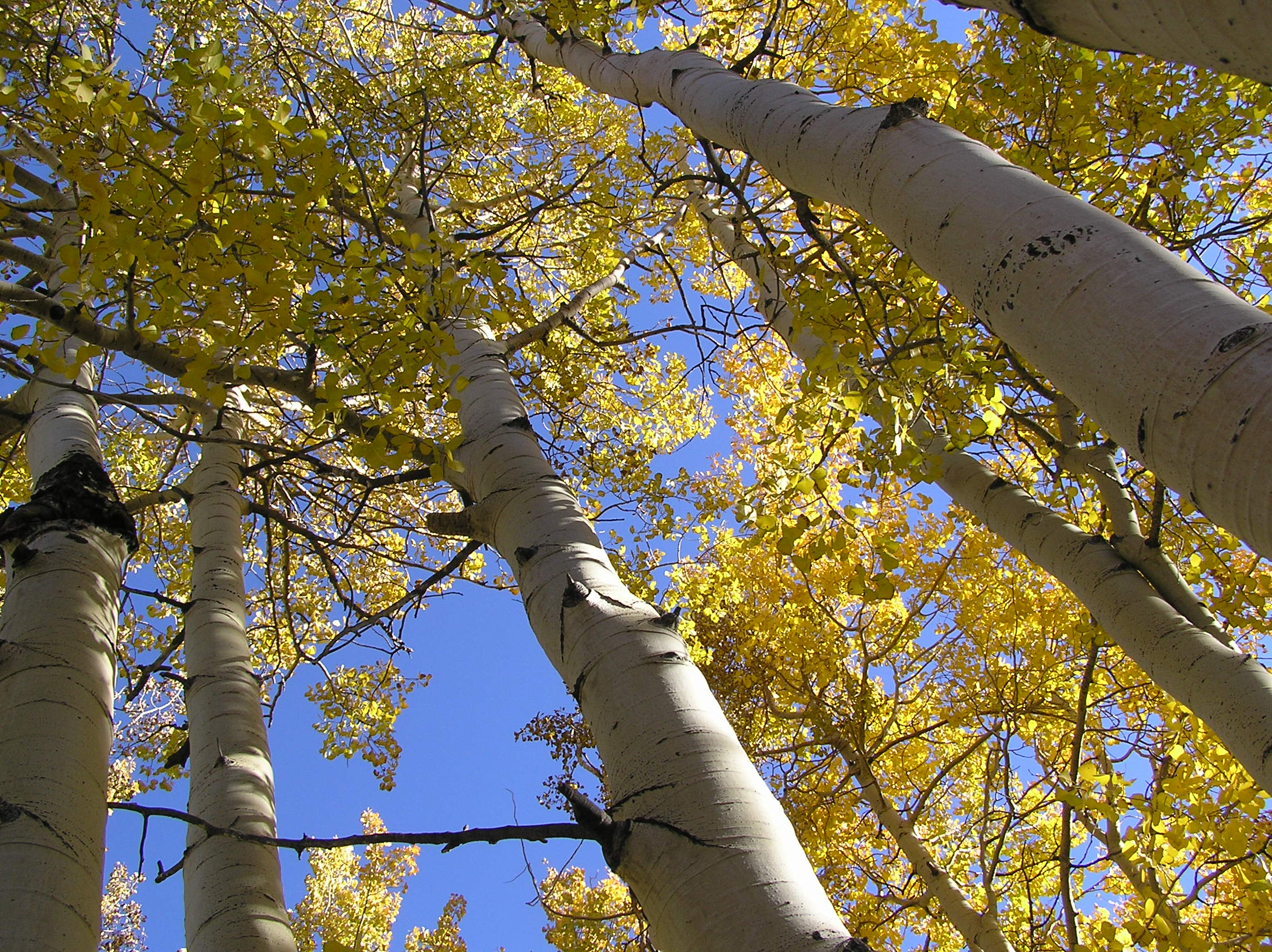 A trunk or stem of Pando a quaking aspen tree.