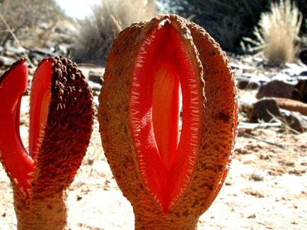 Elegant Sunburst Lichen (Xanthoria elegans) by Björn S...