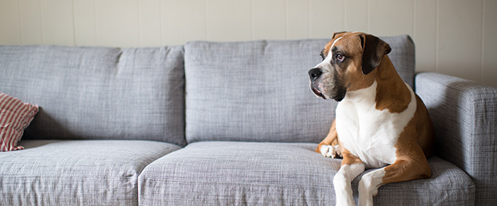 Boxer dog on couch