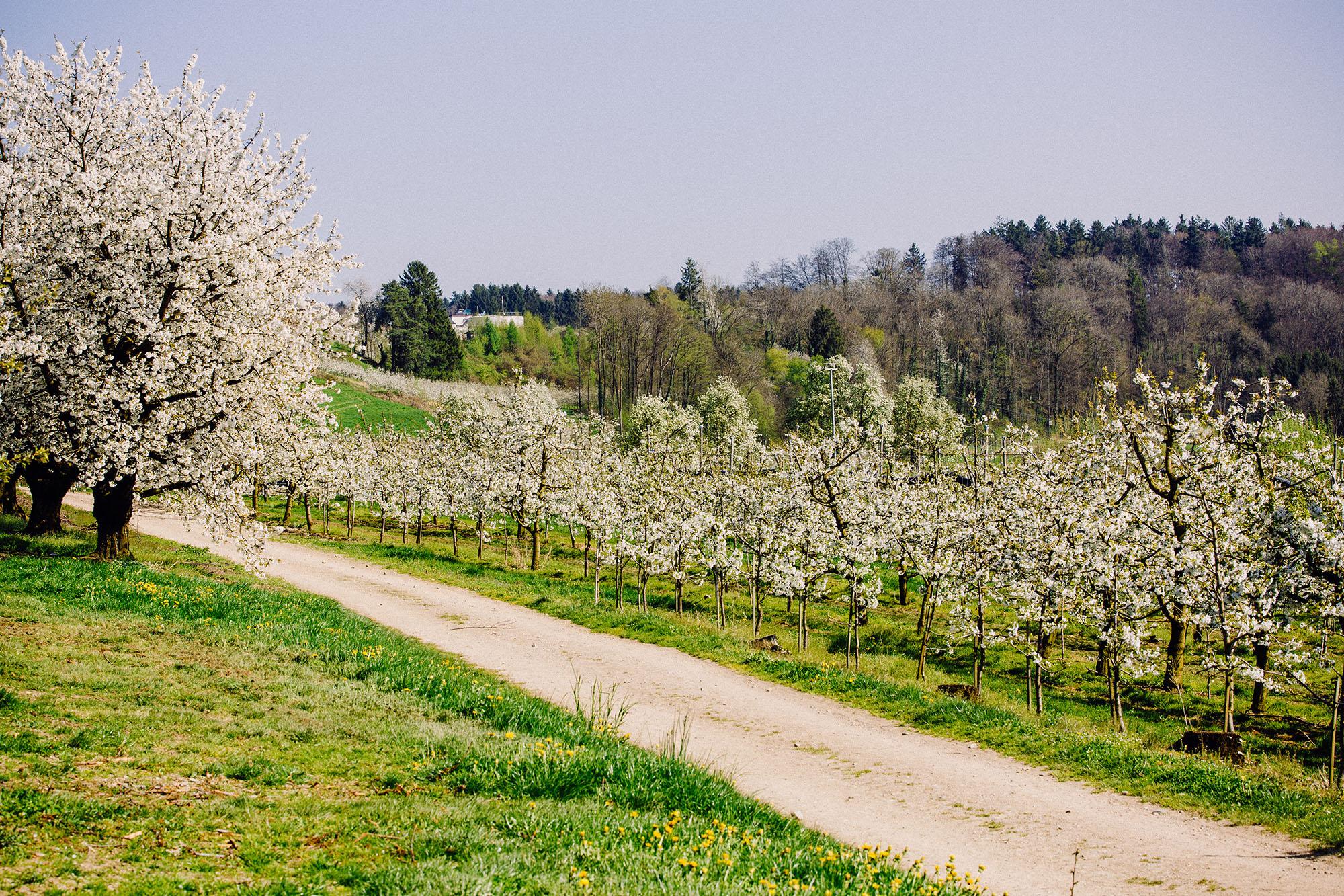 Kirschblüte auf Gut Hügle