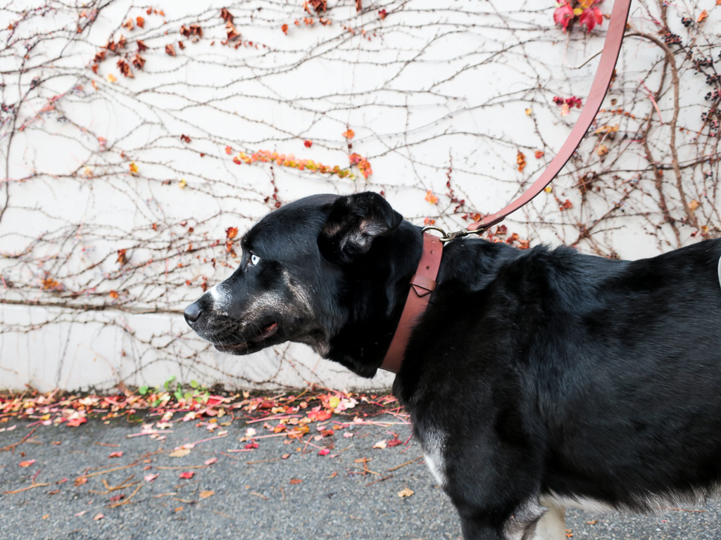 Uphill Designs - Bajada pet leash - medium brown - in use