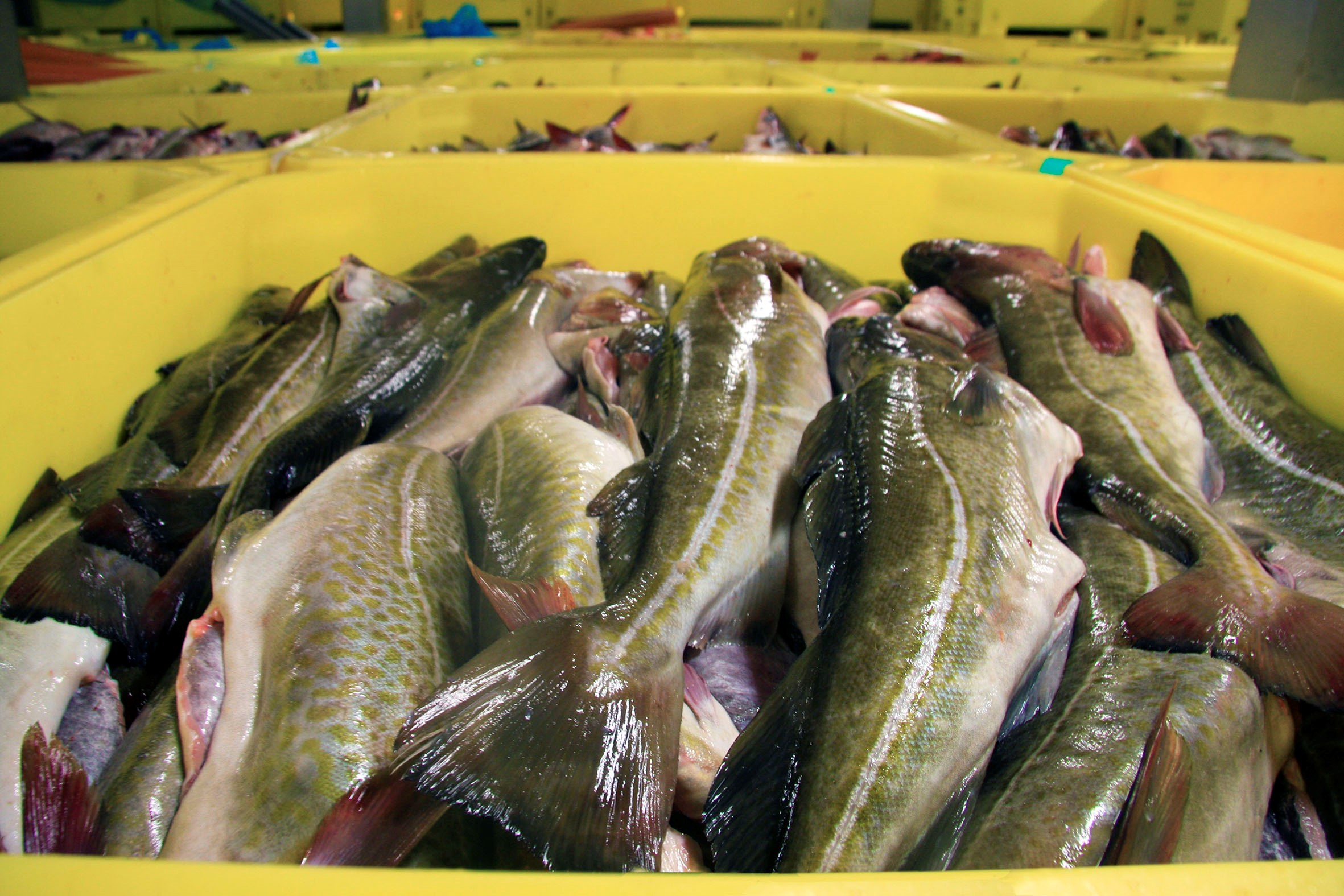 In Málmey - Fish is stored in tubs without Ice in the fish hold.